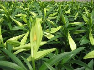 Plantas de lilium