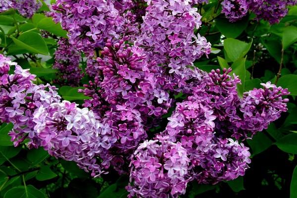 Conjunto de lilas