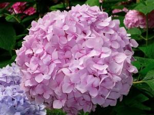 Hortensia de color rosa palo