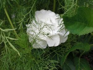 Flor de hortensia escondida entre abundante vegetación