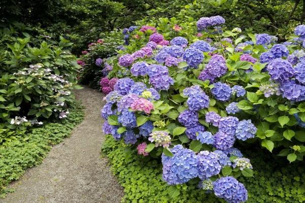 Jardín con hortensias