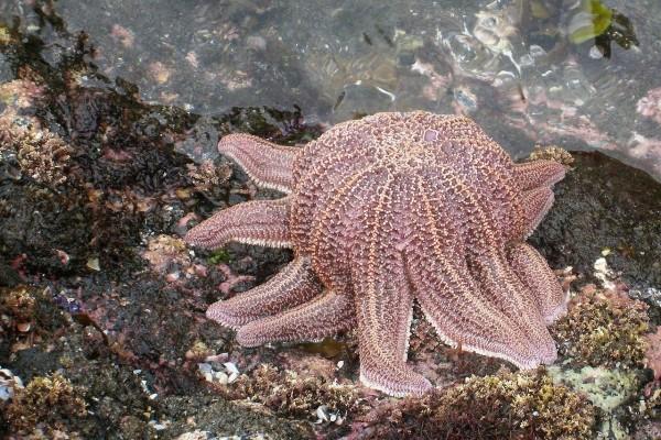 Estrella de mar de Coral (Stichaster australis)
