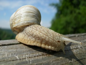 Un caracol romano (Helix pomatia)