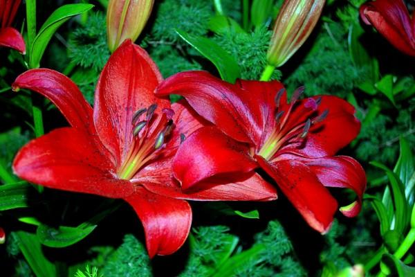 Brillantes azucenas rojas