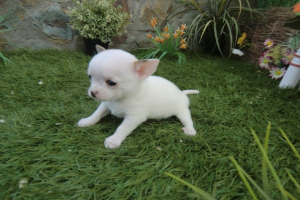 Pequeño chihuahua blanco