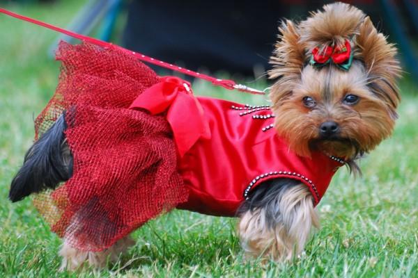 Yorkshire con un vestido rojo