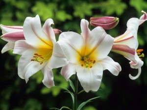 Postal: Rama con flores de lilium