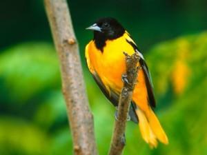 Postal: Pájaro anaranjado de cabeza negra