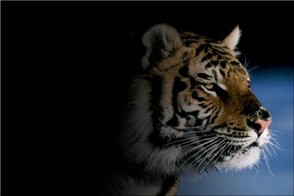 Cabeza de un tigre