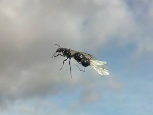 Postal: Hormigas voladoras