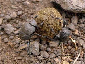 Escarabajos peloteros