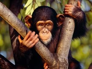 Postal: Pequeño chimpancé con una tierna mirada