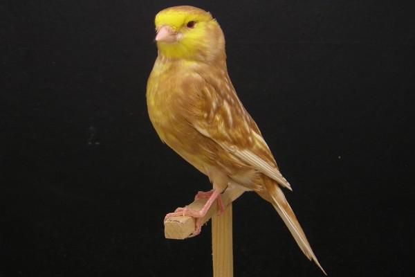 Esbelto canario