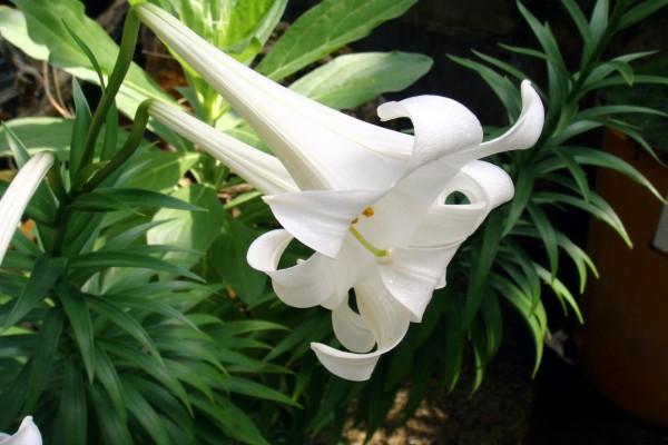Precioso Lilium Longiflorum
