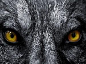 Postal: Mirada de lobo