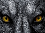 Mirada de lobo