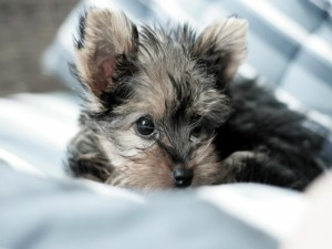 Postal: Perrito yorkshire tumbado