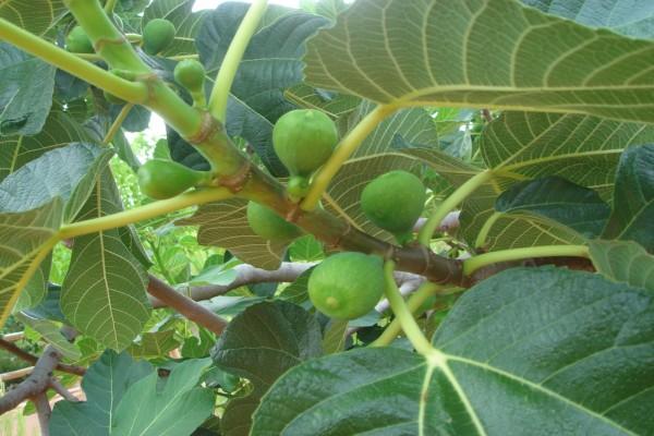 Higuera con frutos verdes