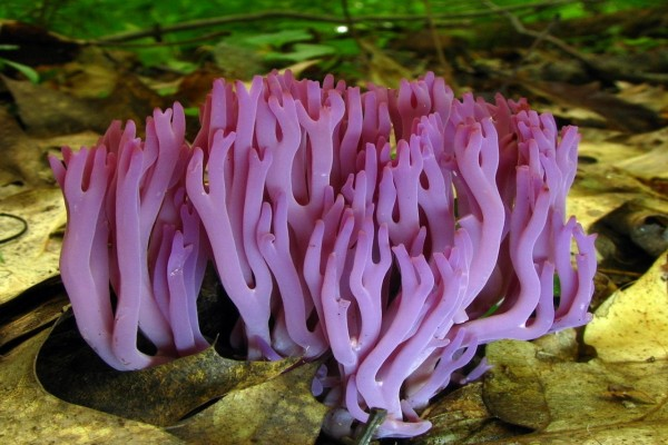 Seta coral (Clavaria zollingeri)