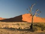 Árbol de espina de camello (Acacia erioloba)
