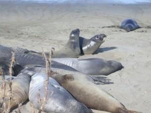 Elefantes marinos del norte cerca de San Simeon, California