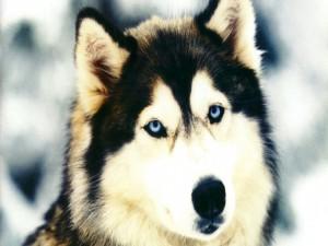 Postal: Cara de un Husky Siberiano