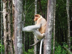 Mono narigudo entre dos árboles
