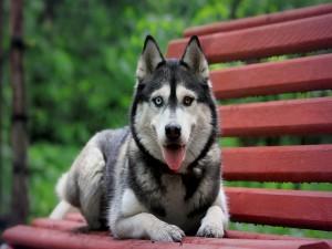 Postal: Husky con ojos de diferente color