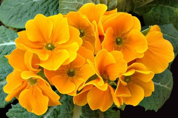 Prímulas naranjas