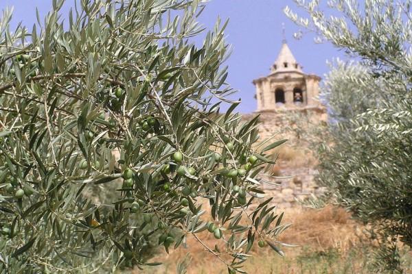 Olivo con su fruto aún verde en Alcalá la Real (Jaén, España)