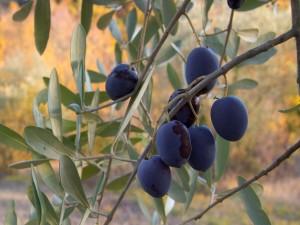 Olivos de Umbría, Italia