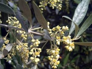 Postal: Flores de olivo (Olea europaea)