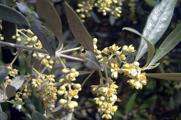 Flores de olivo (Olea europaea)