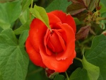 Rosa natural
