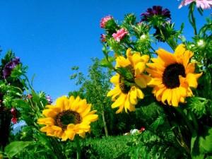 Postal: Jardín con tres girasoles