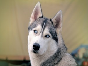 Postal: Mirada de un husky