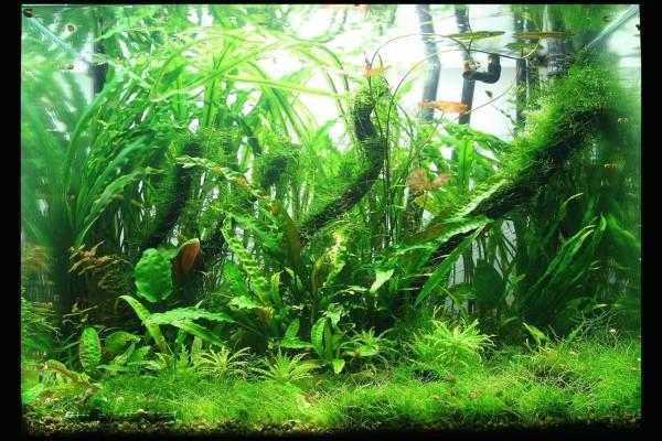 Jardín acuático lleno de especies de Cryptocoryne