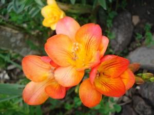 Postal: Fresias naranjas