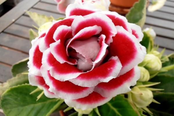 Flor de pétalos rosas y blancos