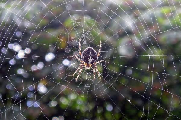 Araña en el jardín