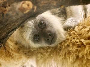 Mono de mirada triste