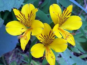 Tres astromelias amarillas