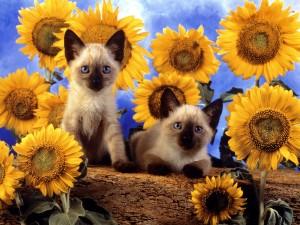 Postal: Dos gatos siameses rodeados de girasoles