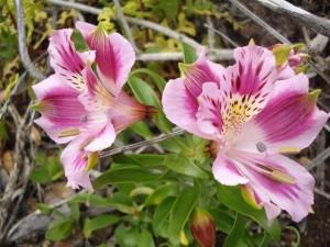 Astromelias rosas