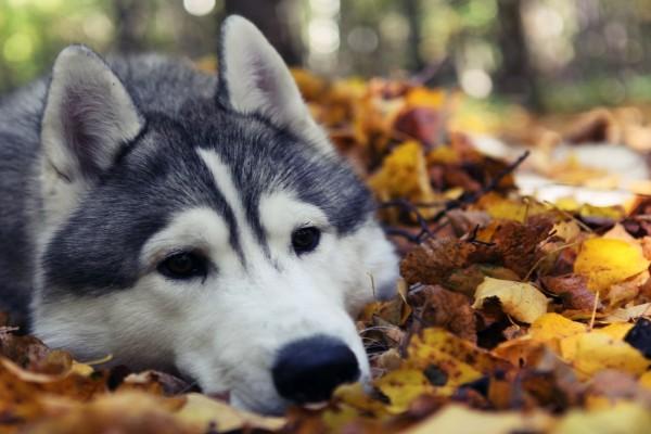 Husky con la cabeza apoyada sobre unas hojas