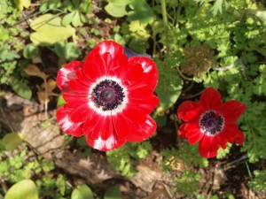Flores rojas silvestres