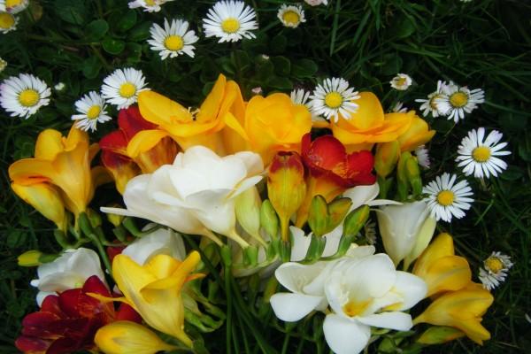 Ramo con fresias de colores y margaritas blancas