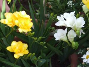 Postal: Ramo con fresias blancas y amarillas