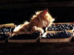 Postal: Gatito durmiendo sobre unas ciruelas