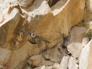 Halcón peregrino volando